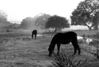 Horses on misty morning