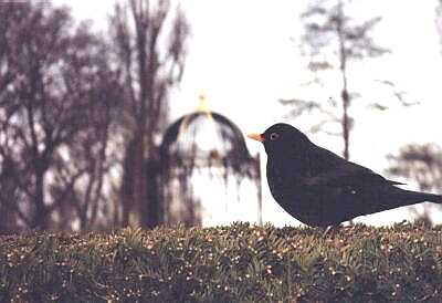Blackbird, Kew Gardens, London