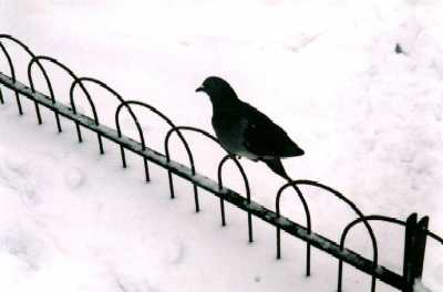 Pigeon on railing, London, Regent's Park in snow